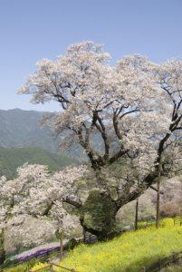 高知県ひょうたん桜公園 花見